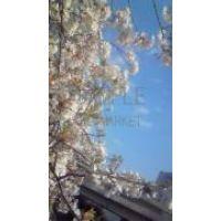 †♩♪cia ♩♪†桜