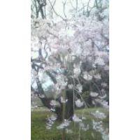 †♩♪cia ♩♪† 六義園しだれ桜